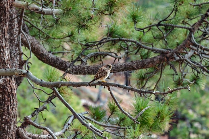 Montagnes près de parc national de Teide La vieille forêt de pin a courbé, les pins antiques noueux Faucon se reposant sur les vo images libres de droits