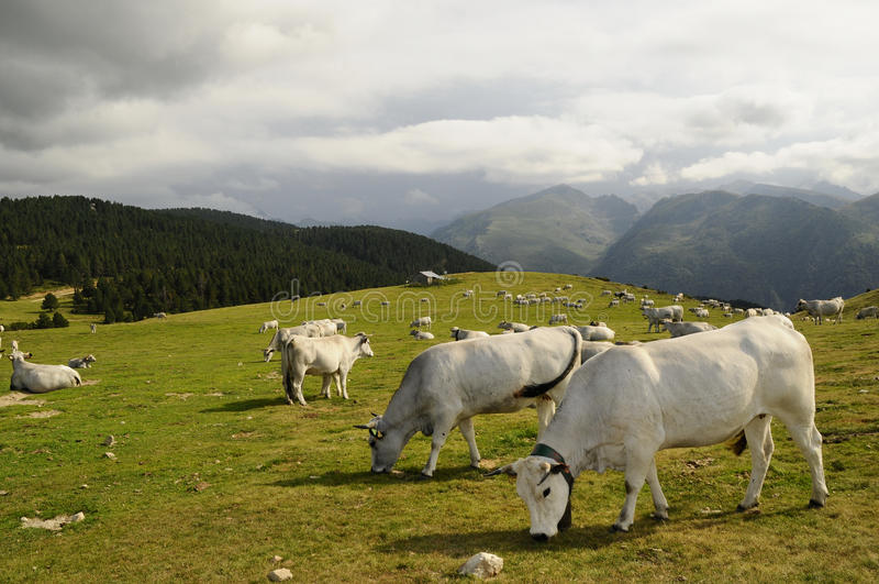 Montain Kühe lizenzfreie stockfotografie