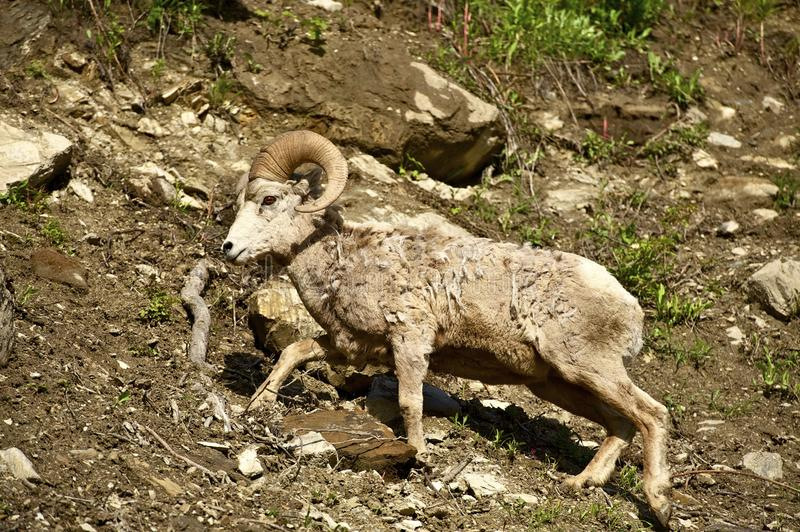Download Montana Bighorn Sheep Stock Photo - Image: 27877180