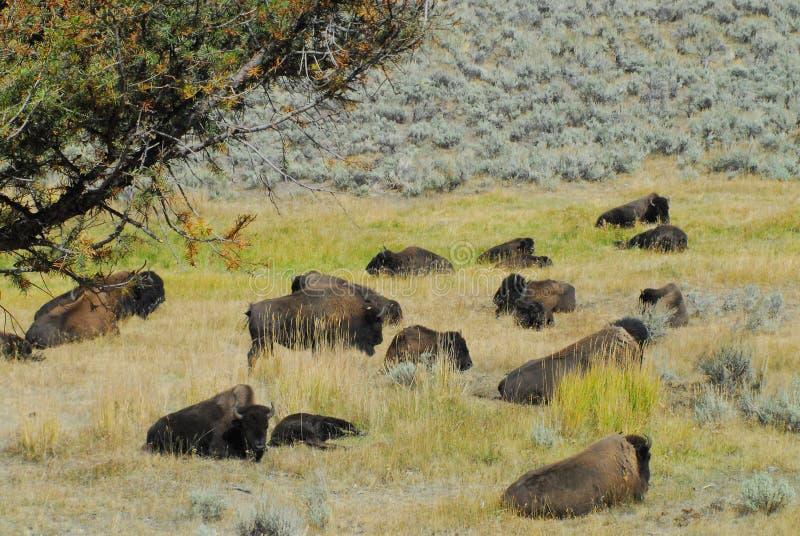 Montana/Wyoming, USA buffel som ta sig en tupplur i middagdagsolen royaltyfria foton