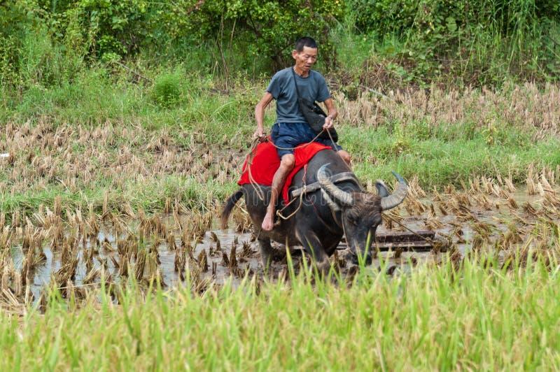 Montando o búfalo de água fotografia de stock royalty free