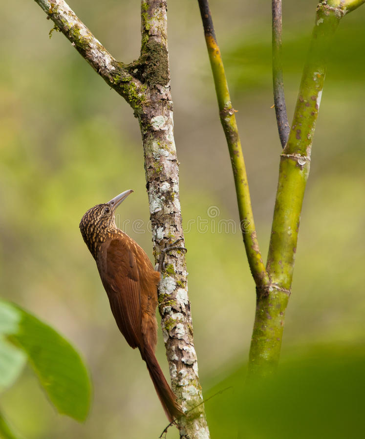 A Montane Woodcreeper Holding On A Log Royalty Free Stock Image
