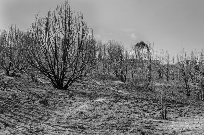 Montanhês queimado das árvores BW fotografia de stock