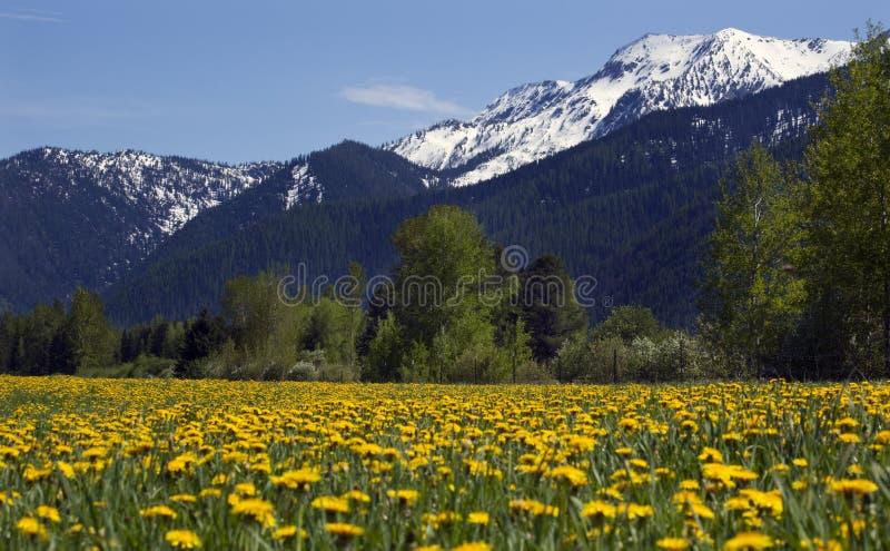 Montanha amarela Montana da neve da exploração agrícola da flor fotografia de stock