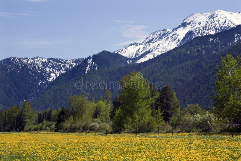 Montanha amarela Montana da neve da exploração agrícola da flor fotografia de stock royalty free