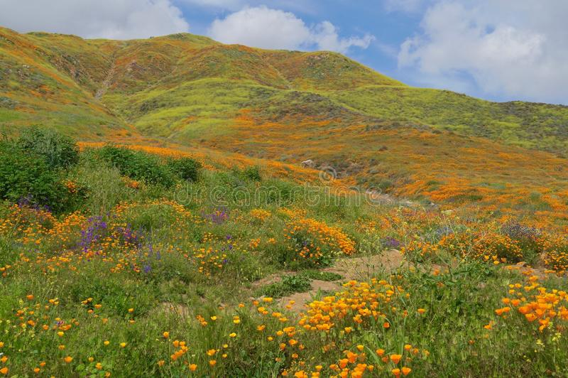 Montanha coberta em Wildflowers de Califórnia fotos de stock royalty free
