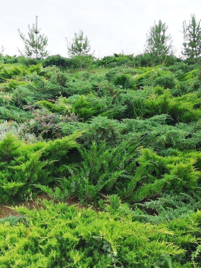 Montanha com os arbustos do thuja contra o céu fotografia de stock