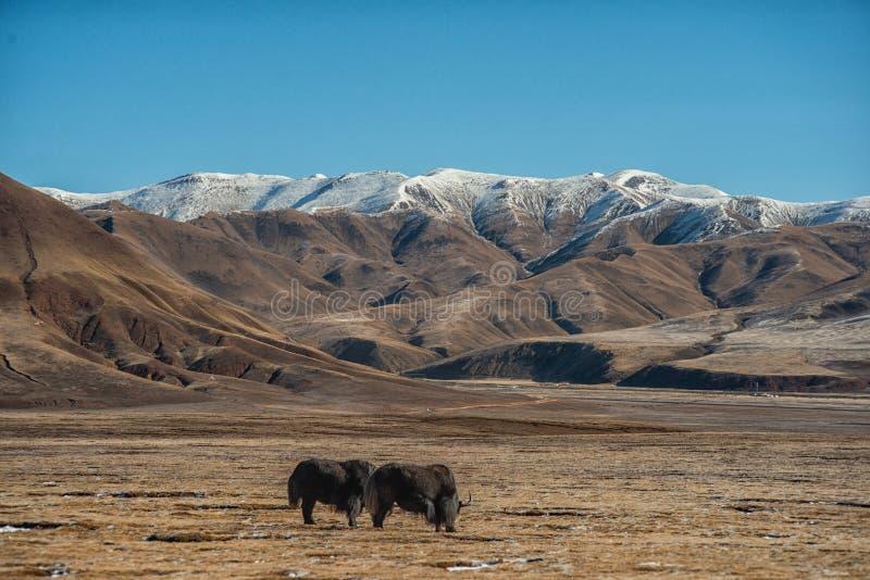 Montanha da neve, céu azul, iaque, montanha, viagem foto de stock