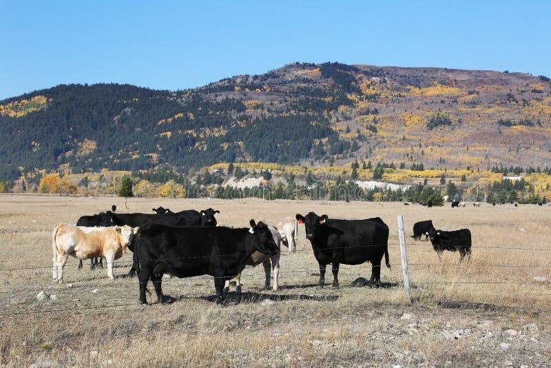 Montanha do gado imagem de stock