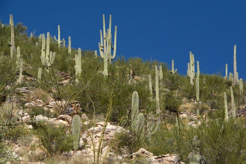 Montanha do Saguaro fotos de stock