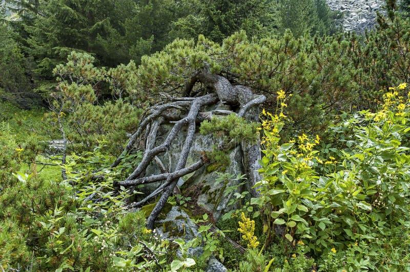 Montanha ensolarado coberto de vegetação com o pinho conífero da floresta e da árvore com a coroa interessante na caminhada ecoló fotografia de stock royalty free