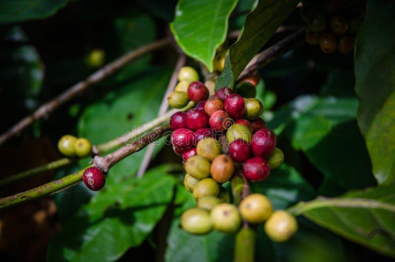 Montanha Indonésia de Muria da planta do café foto de stock royalty free