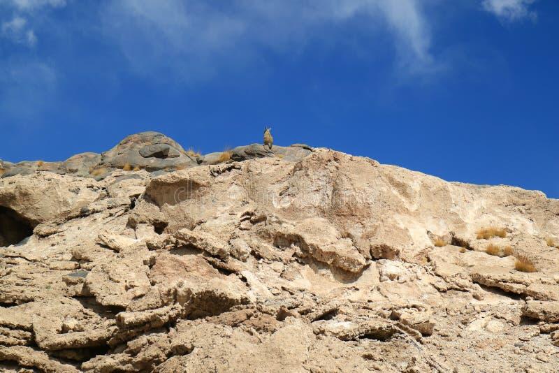 Montanha Viscacha que descansa no monte rochoso sob o céu azul vívido do deserto árido do departamento de Potosi, Bolívia, Áméric imagem de stock