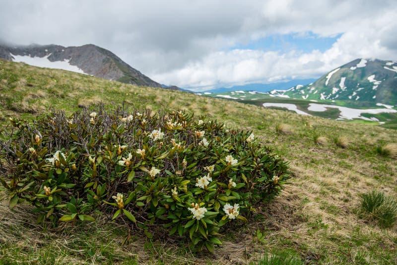 Montanhas caucasianos, rododendro imagens de stock royalty free