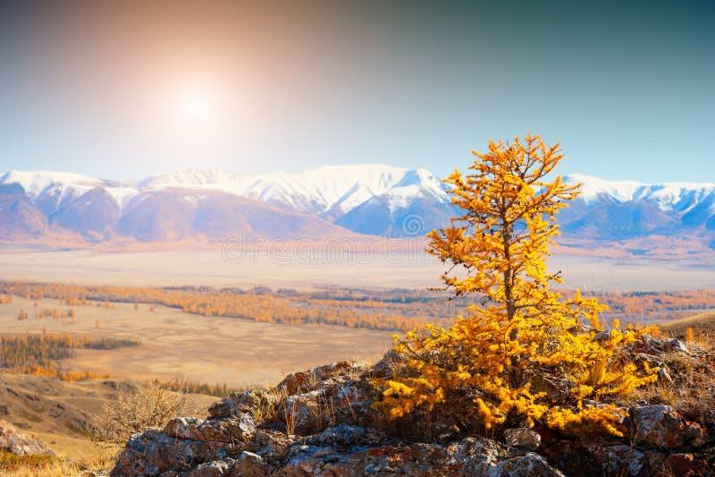 Montanhas cobertos de neve e árvore amarela do outono Altai, Sibéria, Rússia fotos de stock