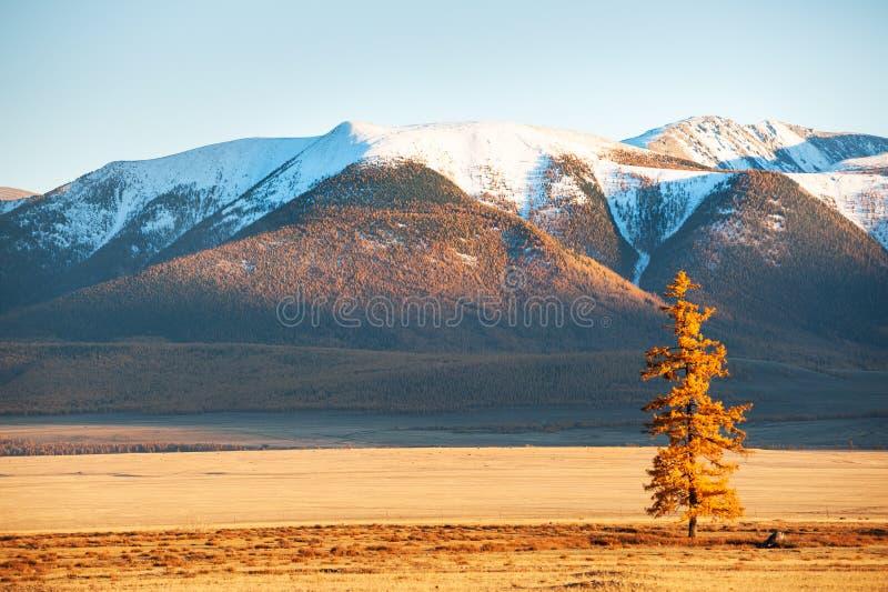 Montanhas cobertos de neve e árvore amarela do outono Altai, Sibéria, Rússia fotografia de stock royalty free