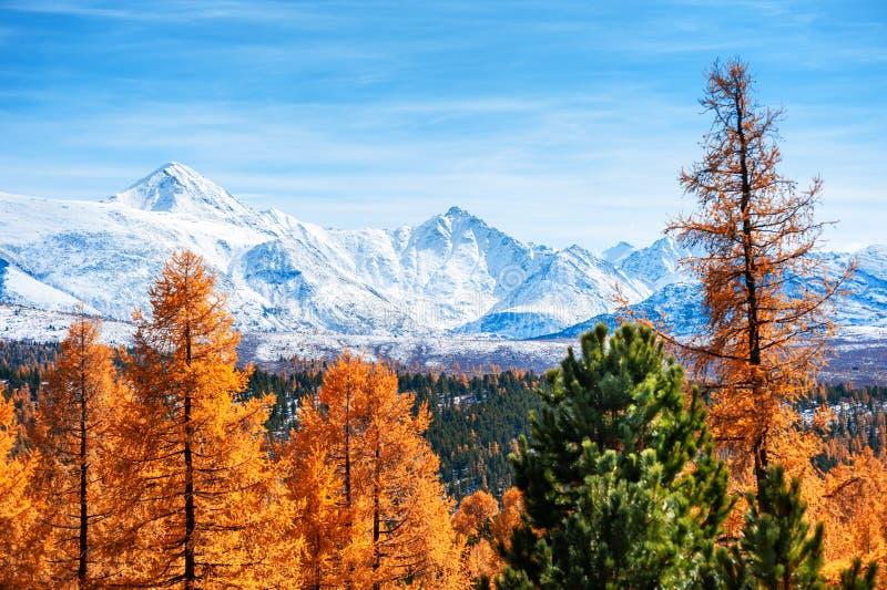 Montanhas cobertos de neve e árvores amarelas do outono em Altai, Sibéria imagens de stock royalty free