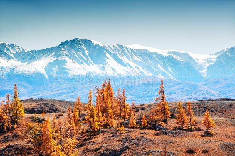 Montanhas cobertos de neve e árvores do outono em Altai, Sibéria, Rússia fotos de stock royalty free