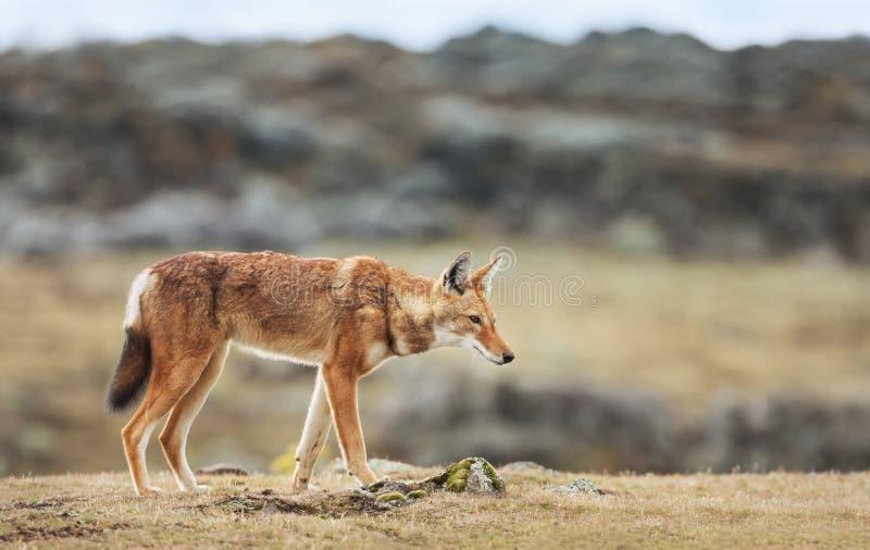 Montanhas etíopes raras e postas em perigo do pacote do cruzamento do lobo, Etiópia fotos de stock royalty free