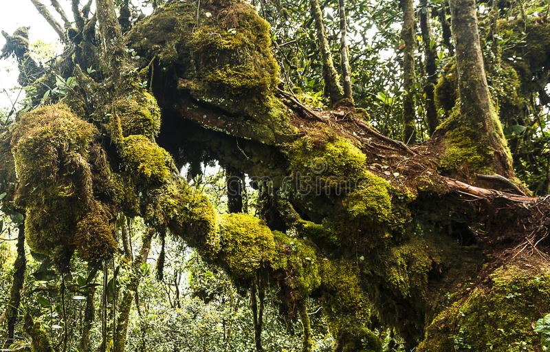 Montanhas musgosos Malásia de Cameron da floresta imagens de stock royalty free