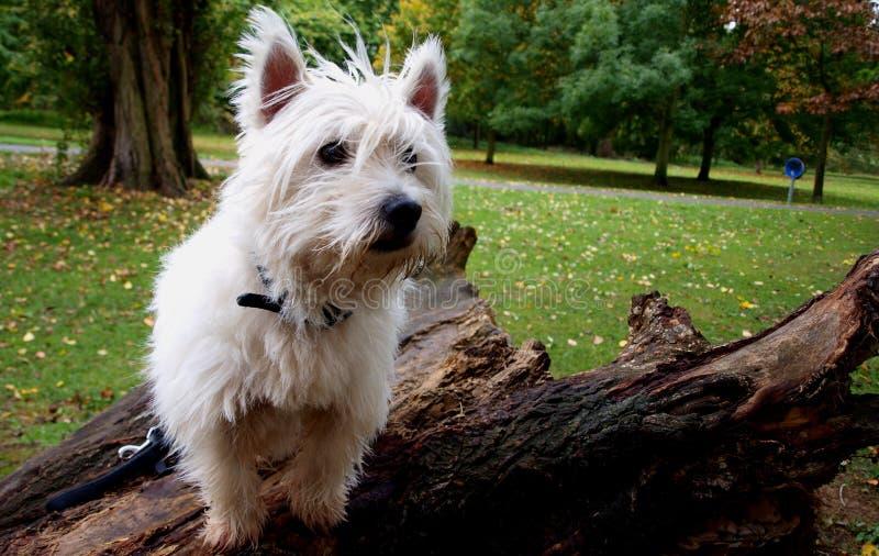 Montanhas ocidentais Terrier fotos de stock royalty free