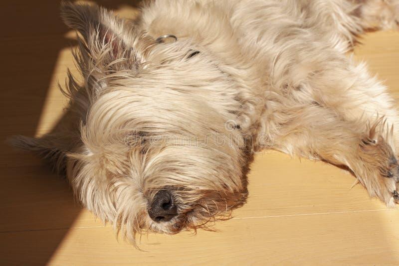 Montanhas Terrier branco ocidentais bonitos que encontra-se para baixo em um assoalho de madeira Cabelo abaixo dos olhos Fim acim fotografia de stock