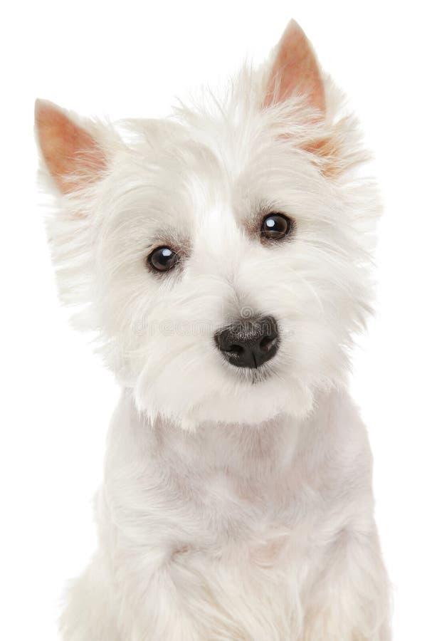 Montanhas Terrier (westie) no fundo branco imagens de stock royalty free