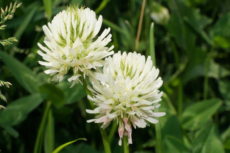 Montanum GR del Trifolium de la montaña del trébol de las flores blancas del primer dos foto de archivo