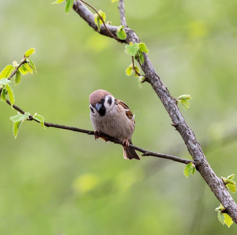 Montanus euro-asiático do transmissor do pardal de árvore fotografia de stock royalty free