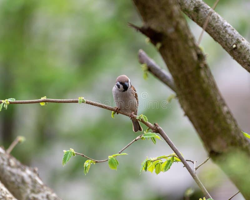 Montanus euro-asiático do transmissor do pardal de árvore fotos de stock royalty free