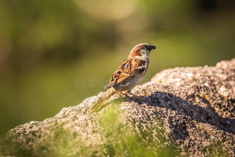 Montanus euro-asiático do transmissor do pardal de árvore, pássaro bonito na natureza fotografia de stock