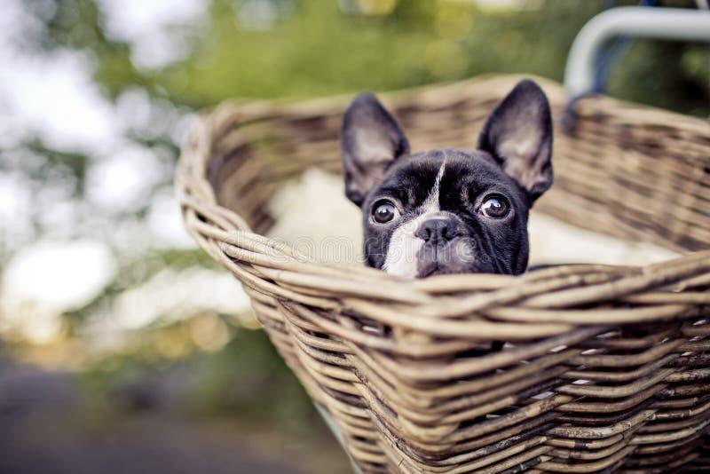 Montar a caballo joven de Boston Terrier en cesta en la bicicleta foto de archivo libre de regalías
