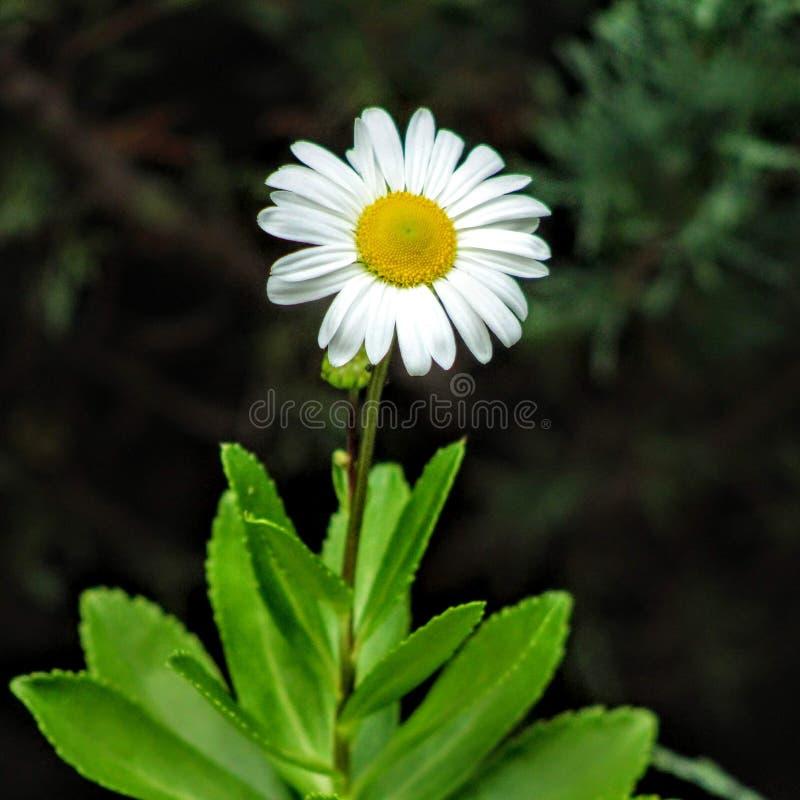 Montauk daisy stock images