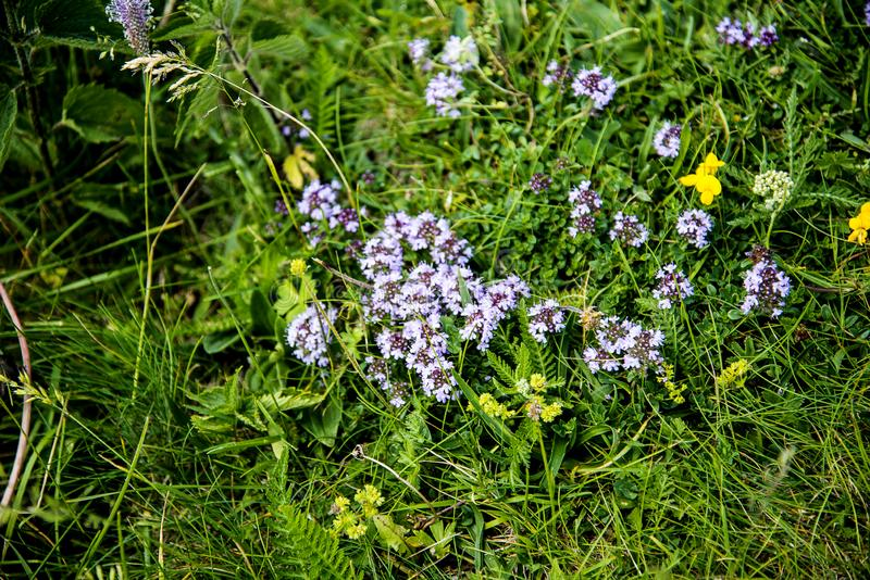 Alpine meadows with wild flowers on the summit of Monte Baldo in Italy. Monte Baldo, know since 1500 by the name of `Hortus Italiae`, is a treasure chest where stock photo