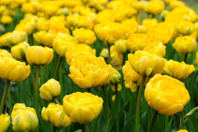 Monte - carlo gula tulpan som en gräsmatta i staden parkerar arkivbilder