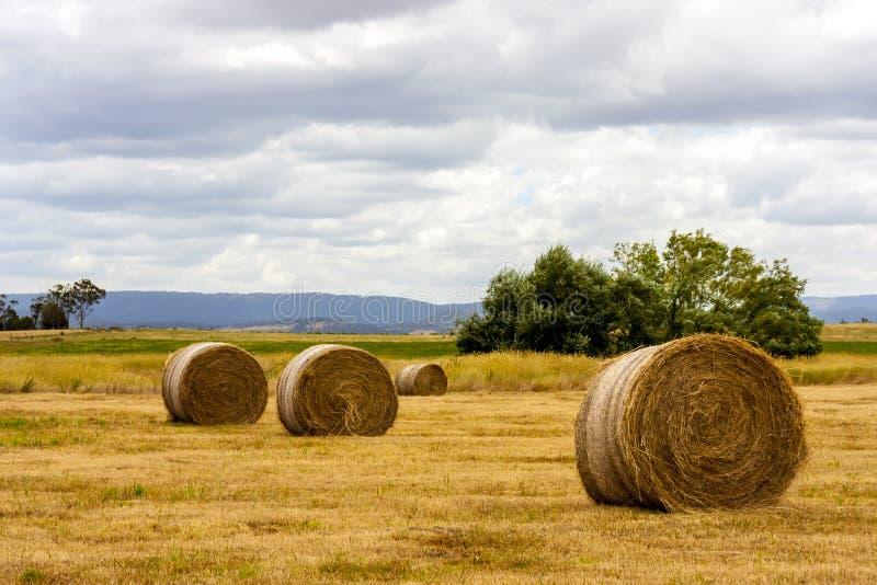 Monte de feno maduros do trigo, campo no Sul da Austrália fotografia de stock royalty free