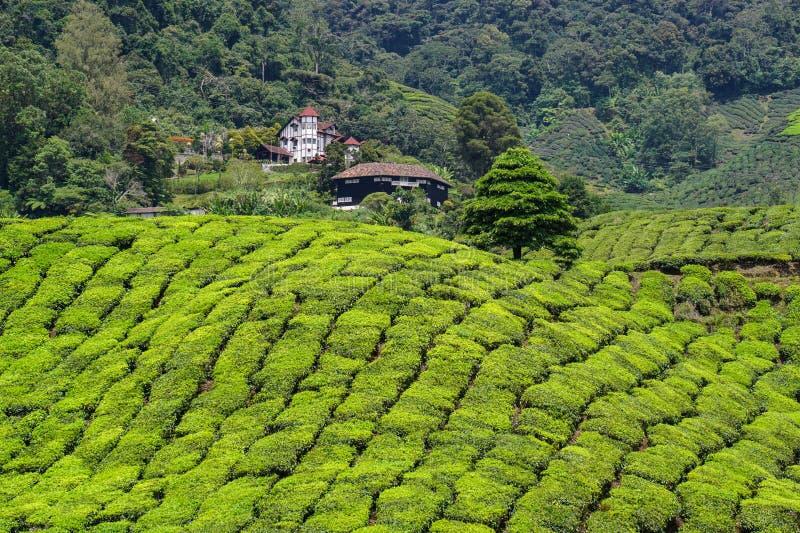 Monte do chá em Cameron Highlands, Malásia imagem de stock