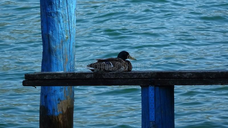 Sitting Ducks are lucky ducks on Monte Isola royalty free stock photography