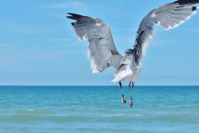 Monter de mouette photos stock