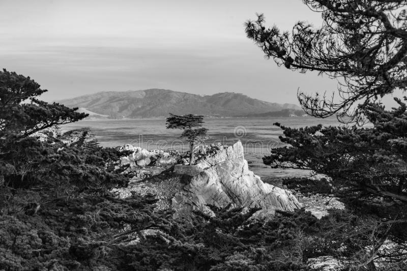 Lonely cypress tree in California. MONTEREY, CALIFORNIA - JUL 26, 2008: Lone Cypress tree view along famous 17 Mile Drive in Monterey. Sources claim it is one of royalty free stock image