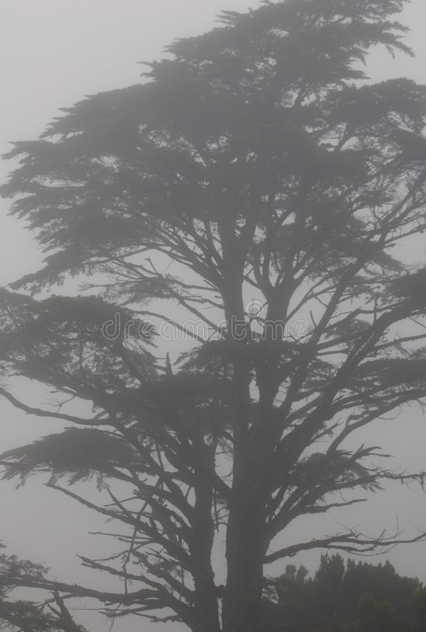 Monterey cypress Cupressus macrocarpa in the fog. stock photo