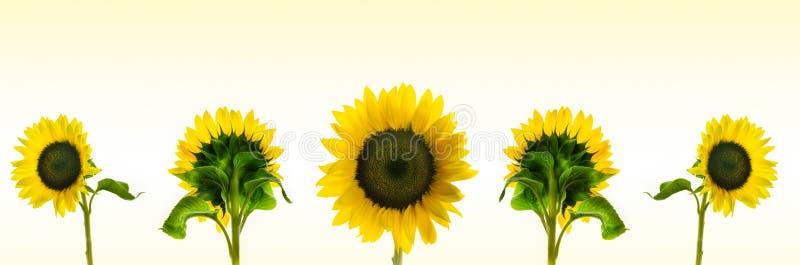Montering van de hoge resolutie de panoramischefoto van individueel kleur gesorteerde Zonnebloemen stock afbeeldingen
