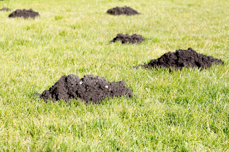 Montes da toupeira no gramado do jardim fotos de stock royalty free