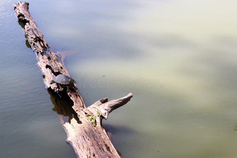 Montes de Toltec - tartaruga em um log fotos de stock