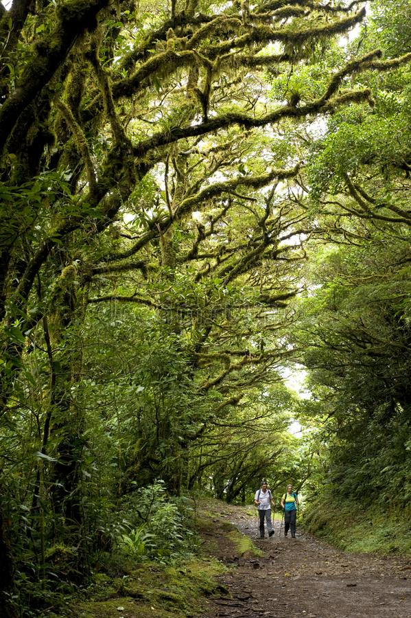 Lush, green foliage surrounds the numerous hiking trails in Monteverde Cloud Forest Reserve in Costa Rica. The Monteverde Cloud Forest Reserve was established royalty free stock images