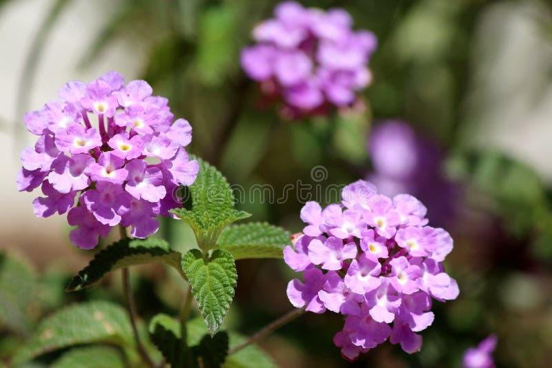 Montevidensis do Lantana, um baixo sh de florescência fortemente scented pequeno fotografia de stock royalty free