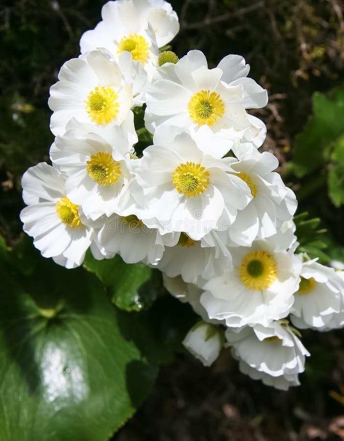 Montez le cuisinier Lily, ou la renoncule de montagne, lyallii de Ranunculus, Alpes du sud, Nouvelle-Zélande photos libres de droits