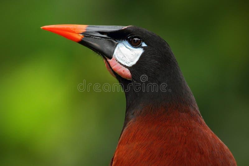 Montezuma de Montezuma Oropendola, de Psarocolius, retrato do pássaro exótico de Costa Rica, marrons com cabeça preta e conta ala fotos de stock royalty free
