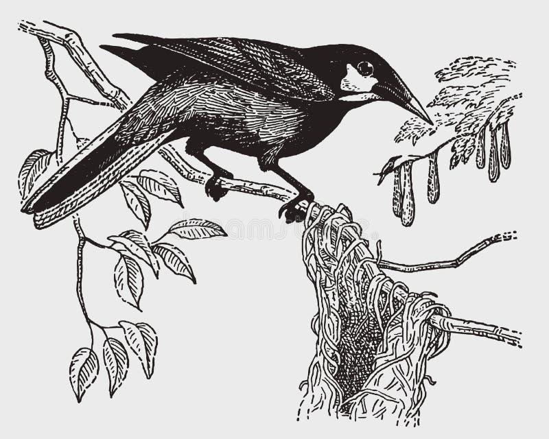 Montezuma del psarocolius del oropendola de Montezuma que se sienta delante de su jerarquía de la cesta tejida libre illustration