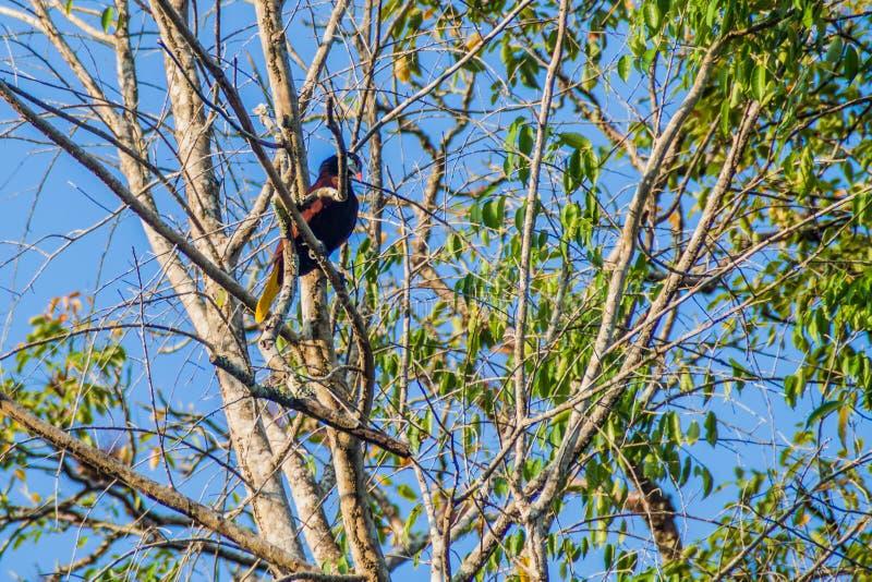 Montezuma em uma árvore, parque nacional Tikal de Psarocolius do oropendola de Montezuma, Guatema foto de stock royalty free